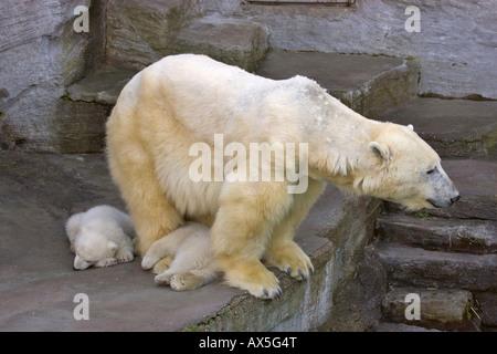 Polar Bear (Ursus maritimus) cubs, twins born December 2007 at Schoenbrunn Zoo, Vienna, Austria, Europe - Stock Photo