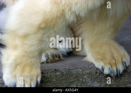 Polar Bear (Ursus maritimus) cub hiding behind its mother, twins born December 2007 at Schoenbrunn Zoo, Vienna, - Stock Photo