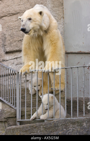 Polar Bear (Ursus maritimus) cubs with their mother, Schoenbrunn Zoo, Vienna, Austria, Europe - Stock Photo