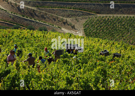 Winegrowing in the Vale Mendiz, grape pickers carrying boxes with grapes, Pinhao, Douro Region, North Portugal, - Stock Photo