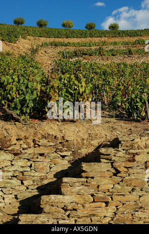Winegrowing in the Vale Mendiz, production of red wine and port on the Quinta do Passadouro,  Region, North Portugal, - Stock Photo