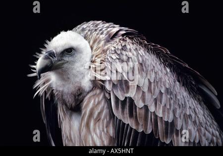 Griffon Vulture (Gyps fulvus) - Stock Photo