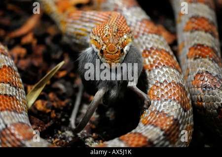 Corn Snake or Red Rat Snake (Pantherophis guttatus) eating a mouse - Stock Photo