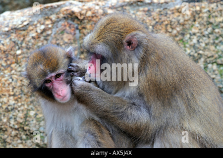 Japanese Macaques or Snow Monkeys (Macaca fuscata) delousing one another - Stock Photo