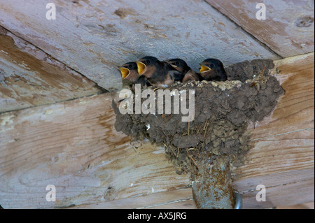 Barn Swallow (Hirundo rustica) chicks calling from their nest to be fed - Stock Photo