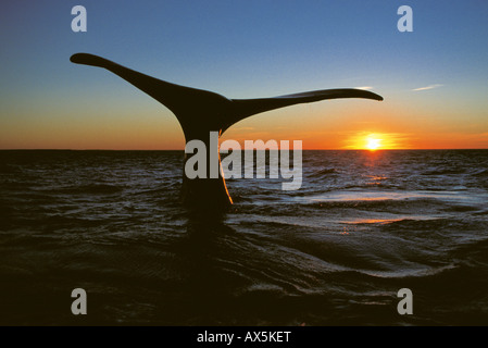 Southern Right Whale (Eubalaena australis), Valdez Peninsula, Chubut Province, Argentina, South America - Stock Photo