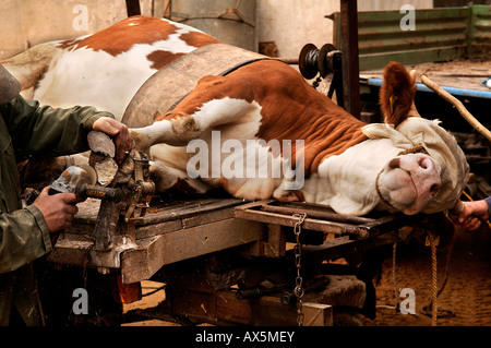 Hoofs of a cow getting trimmed using an angle grinder, Eckental, Middle Franconia, Bavaria, Germany, Europe - Stock Photo