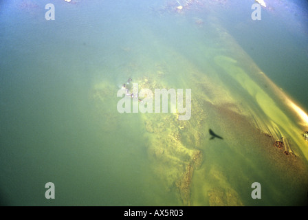 Zambesi River, Zambia. Aerial view of river in full flood with a group of hippopotamus in the centre and the shadow - Stock Photo