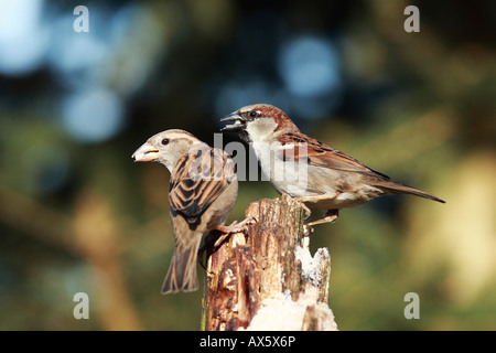 House Sparrows (Passer domesticus) - Stock Photo