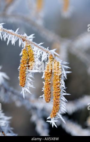 Ice crystals formed on Hazel flowers (Corylus) - Stock Photo