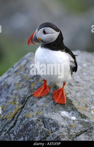 Atlantic Puffin (Fratercula arctica), Runde Island, More og Romsdal, Norway, Scandinavia, Europe
