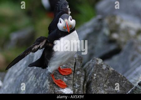 Atlantic Puffin (Fratercula arctica), Runde Island, More og Romsdal, Norway, Scandinavia, Europe - Stock Photo