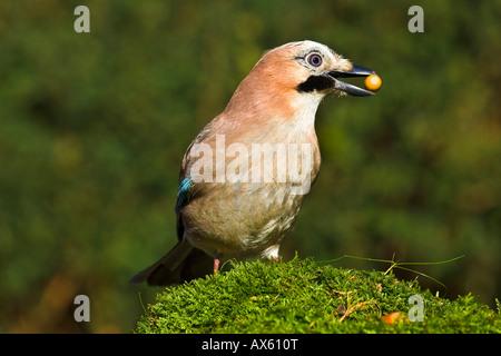 Eurasian Jay (Garrulus glandarius) with an acorn in its beak - Stock Photo