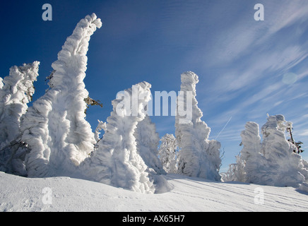 Snowcovered Norway Spruce  - Stock Photo