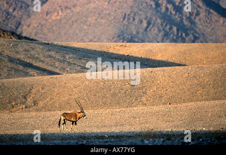 Oryx Gemsbok Oryx gazella in north western Namibia Kaokoveld near Purros and the Hoarusib river - Stock Photo
