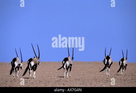 Oryx Gemsbok Oryx gazella Palmwag concession area Damaraland Namibia Africa - Stock Photo