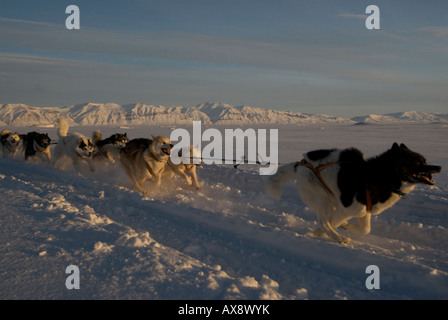 snow dog,husky,running,harness,travel greenland - Stock Photo