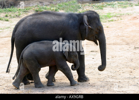 Baby Indian elephant at Elephant training camp chiang dao near Chiang Mai Thailand Oct 2005 - Stock Photo
