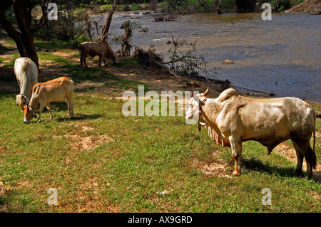 cattle at Elephant training camp chiang dao near Chiang Mai Thailand Oct 2005 - Stock Photo