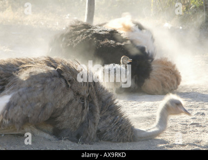Ostrich parents and chick taking a dust bath, Addo Elephant Park, Eastern Cape, South Africa, Africa - Stock Photo