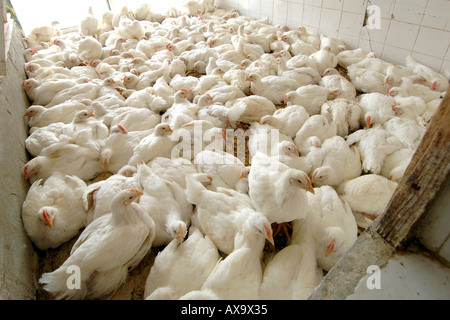Chickens ready for slaughter in a butchery in Doha, Qatar. - Stock Photo