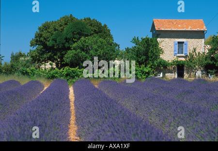 Cottage, Lavender Field, near Valensole, Alpes de Haute Provence, Provence, France - Stock Photo