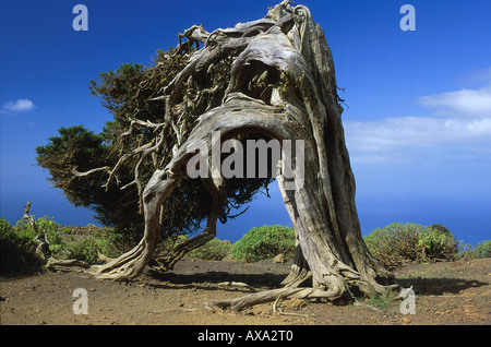 Wacholderbaum El Sabinar, El Hierro, Kanarische Inseln Spanien, Seite 125 o.re.