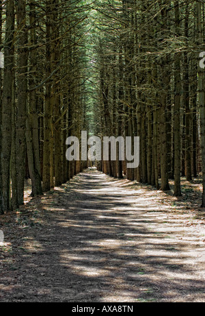 Established entry way with row of tall monumental pine trees - Stock Photo