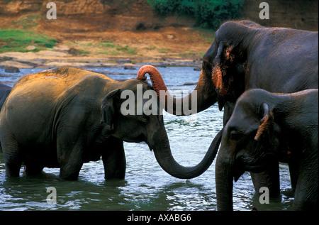 Elephants, Elephant Orphanage, Pinnewela, Central Province Sri Lanka - Stock Photo