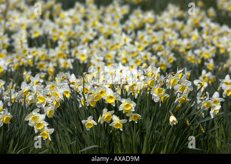 abundance of yellow and white daffodils in bloom spring in parkland - Stock Photo