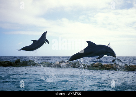 Curacao, Willemstad, Two Coastal Bottlenose Dolphins leaping in air, Curacao Sea Aquarium - Stock Photo