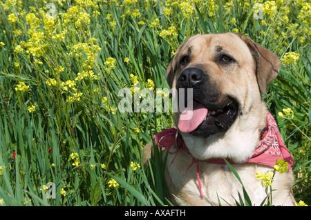 Portrait of a young english Mastiff dog. - Stock Photo