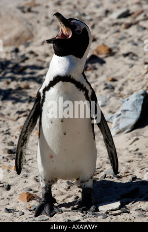 african penguin spheniscus demersus foxy beach near boulders beach on the false bay cape town western cape province - Stock Photo