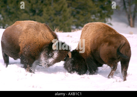 Bison bulls sparring - Stock Photo