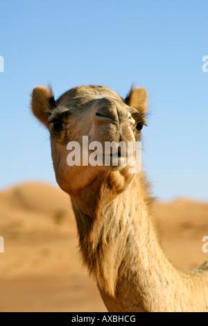 An Arabian camel a.k.a. one-humped dromedary (Camelus dromedarius) in Wahiba Sands in Oman. - Stock Photo