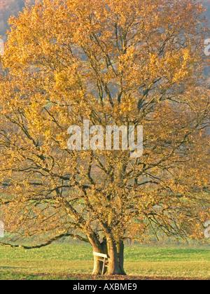 solitaire tree oak Quercus robur in autumn - Stock Photo