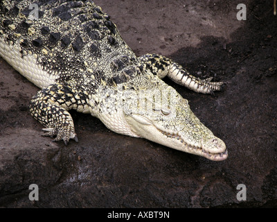 Cuban crocodile (Crocodylus rhombifer), lying - Stock Photo