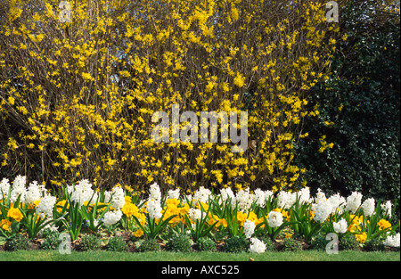 forsythia bush hedge forsythia hedge yellow flowers flower bush shrub early spring in