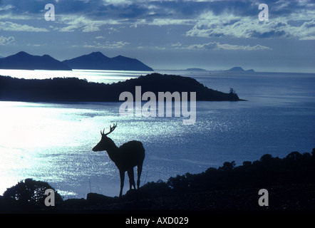 Dramatic light and silhouetted deer on hillside against sea view of Queensland coast from Hamilton island Eastern - Stock Photo