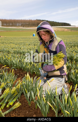 Daffodil growing _Fields of commercially grown farmed daffodils in Morayshire, north-eastern Scotland UK - Stock Photo