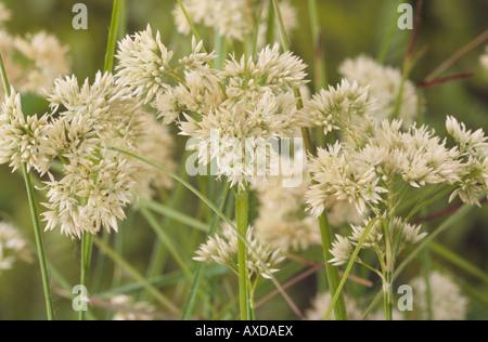 Luzula nivea (Snowy woodrush) - Stock Photo