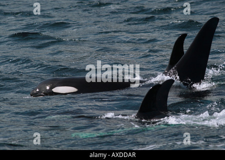 A small pod of killer whales, both large male, juveniles and mother - Stock Photo