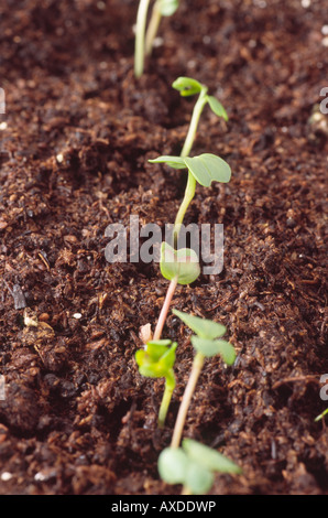 Raphanus sativus. Radish seedlings in a row. - Stock Photo