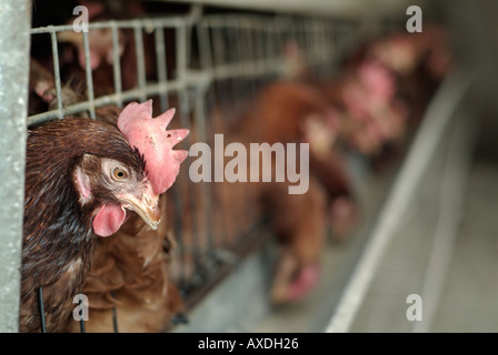 Battery Hens - Stock Photo