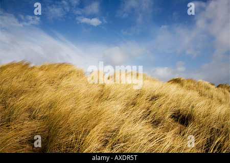 Winter marram grass on the sand dunes of Sandscale Haws National Nature Reserve - Stock Photo