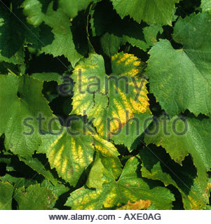 Magnesium deficiency symptoms on the leaves of Chardonnay grapevine - Stock Photo