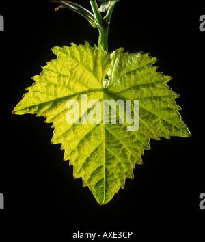 Young vine leaf backlit against a black background - Stock Photo