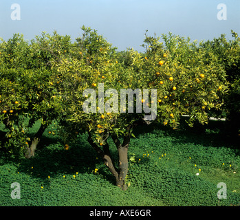 Scaly bark Citrus psorosis virus infection of a clementine causing decline and death Spain - Stock Photo