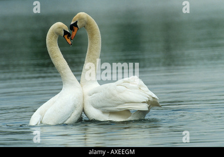 two mute swans in water - Stock Photo