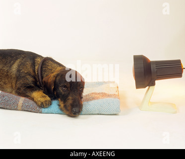 wire-haired dachshund with infra red lamp - Stock Photo